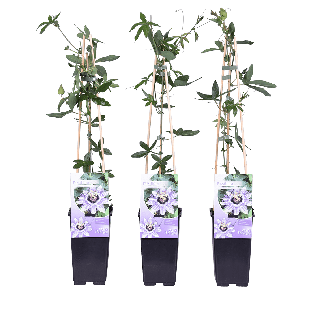 strenggrowers | passiebloem